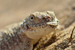 Secret Toad-Headed Agama Stock Image