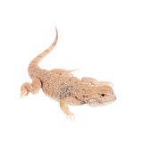 Secret Toad-Headed Agama on white Royalty Free Stock Image