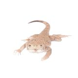 Secret Toad-Headed Agama on white Stock Photo