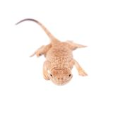Secret Toad-Headed Agama on white Royalty Free Stock Photo