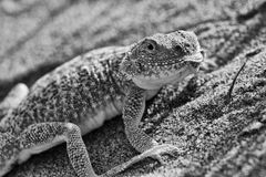 Secret Toadheaded agama Royalty Free Stock Image