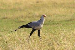 Secretaresse Bird Royalty-vrije Stock Foto