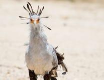Secretaresse Bird Royalty-vrije Stock Afbeelding