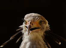Secretaresse Bird stock fotografie