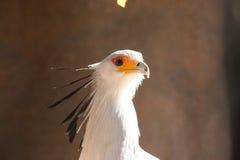 Secretaresse Bird (Boogschutterserpentarius) Stock Foto