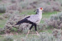 Secretaresse Bird, Boogschutterserpentarius in gras Royalty-vrije Stock Afbeeldingen