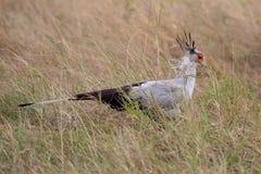 Secretaresse Bird, Kenia, Afrika royalty-vrije stock afbeelding