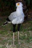 Secretaresse Bird van Prooi Stock Fotografie