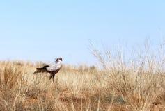 Secretaressevogel die voor prooi zoeken Stock Foto's