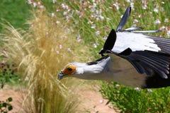 Secretaressevogel, saggitariusserpentarius Royalty-vrije Stock Foto's