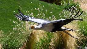 Secretaressevogel, saggitariusserpentarius Stock Foto's