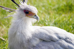 Secretaria Bird Fotografía de archivo