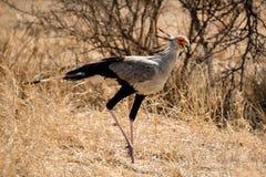 Secretaria Bird Imagenes de archivo
