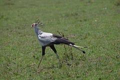 Secretaria Bird Fotografía de archivo libre de regalías