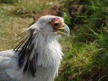 Secretaria Bird Foto de archivo libre de regalías