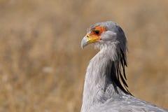 Secretaria pájaro, parque nacional de Etosha Imagenes de archivo