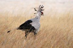 Secretaria pájaro, parque nacional de Etosha Fotografía de archivo libre de regalías