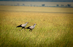 Secretaries of the two birds in the savannah Royalty Free Stock Photo