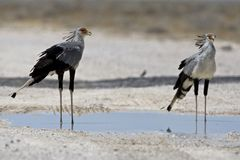 Secretarisvogel, Secretarybird, serpentarius Стрелца стоковое изображение
