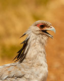 The Secretary Bird´s amazing face Royalty Free Stock Image