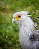Secretary bird. Close up of an african secretary bird Royalty Free Stock Images