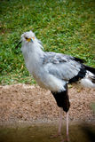 Secretary bird. Close up of an african secretary bird Royalty Free Stock Photography