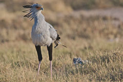 Secretary bird. The Secretary bird is a large,mostly terrestial, bird that is specialised in hunting (venomous) snakes Royalty Free Stock Photo