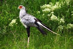 Secretary-bird Stock Image