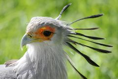 Secretary Bird Royalty Free Stock Image