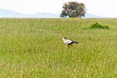 The Secretary Bird Royalty Free Stock Photo