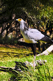Secretary Bird Royalty Free Stock Photo