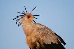 Secretary bird. Portrait of secretary bird on top of tree against bright blue sky Royalty Free Stock Image