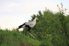 Secretary bird Royalty Free Stock Images