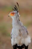 Secretary bird. Portrait of a secretary bird (Sagittarius serpentarius), Kalahari desert, South Africa Stock Photo