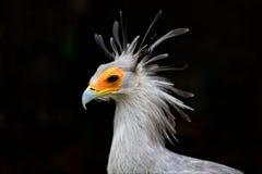 Free Secretary Bird Royalty Free Stock Image - 64597616