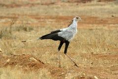 Secretary Bird. Walking Stock Photography