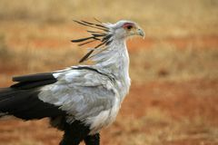 Secretary Bird Stock Images