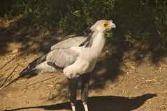 Secretary Bird. This is a picture of the secretary bird Stock Image