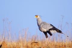 Secretary bird against blue sky Royalty Free Stock Photos