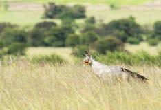 Secretary bird with bush background Royalty Free Stock Photo