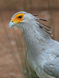 Secretary Bird Stock Image