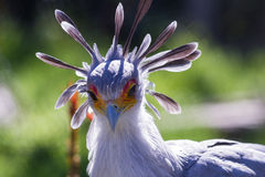 Secretary Bird. Close up of a secretary bird with a yellow and orange face mask and a bluish crown Stock Photography