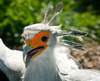 Secretary Bird closeup Stock Photos