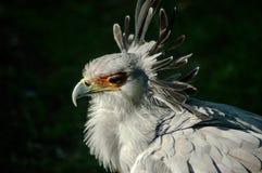 Secretary bird closeup is a raptor in Africa Stock Image