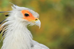 Secretary bird. The detail of adult secretary bird Royalty Free Stock Photography