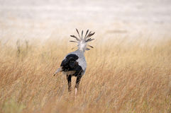 Secretary Bird, Etosha National Park Stock Photography