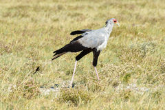 Secretary Bird in Etosha National Park Stock Images