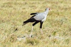 Secretary Bird in Etosha National Park Stock Images