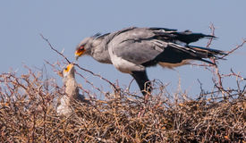 Secretary Bird. Feeding it's nestling In Kgalagadi Game Reserve Royalty Free Stock Photos