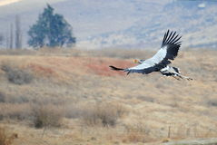 Secretary bird. Flight Raptor Sagittariidae Royalty Free Stock Images